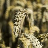 Preisanstieg beim Weizen  ist übertrieben