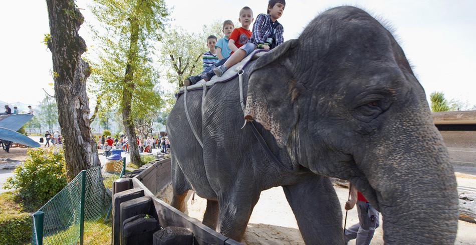 Die beiden noch lebenden Elefantendamen Dehli und Ceylon aus der Zirkuszeit sind in Knies Kinderzoo